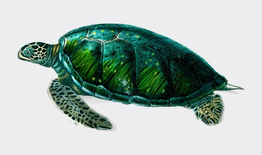 Turtle   Most Frequently Used Trading Animals in the Share Market
